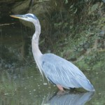 Great Blue Heron on the C&O Canal