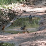 Robin bathing in a puddle on the C&O canal