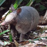 Armadillo in Wekiva Springs State Park