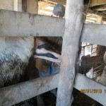 Calf Birth on a Cow Farm in Augusta, Missouri