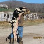 Carrying a Newborn Calf on a Cow Farm in Augusta, Missouri