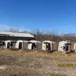 Calves on a Cow Farm in Augusta