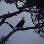 Bald Eagle on SR 520