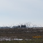 Bird Flock Over Farm Field Outside Shawneetown, Illinois
