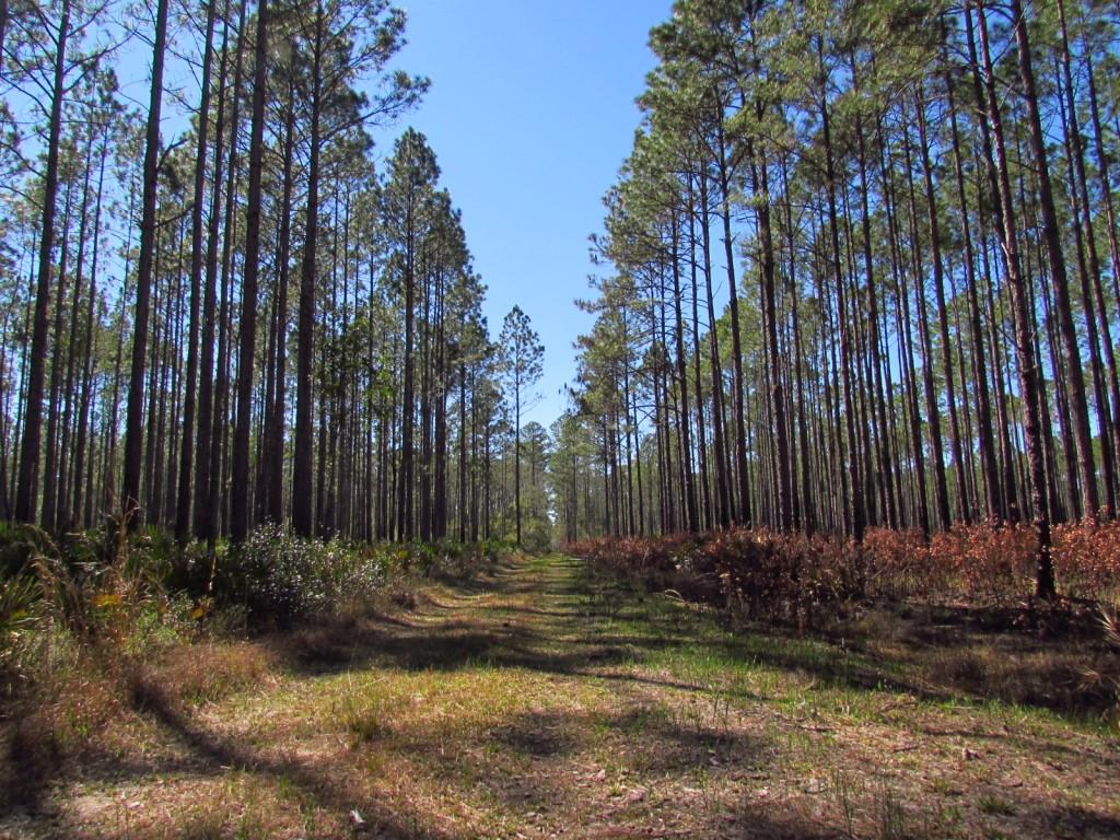 Burn-Area-Osceola-National-Forest