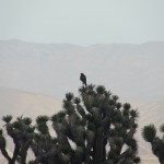 Hawk Sits on a Cactus in the Mojave Desert