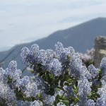 California Lilac on Mount San Jacinto