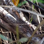 Camouflage Brown Anole in Orlando Wetlands Park