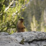 Marmot in Crabtree Meadow in the Inyo National Forest