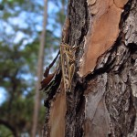 Cricket on a Tree in Orlando Wetlands Park