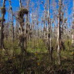 Cyprus Trees, Air Plants, and Daisies in Big Cypress National Preserve