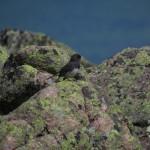 Dark Eyed Junco on the Summit of Mount Katahdin in Maine
