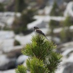 Dark Eyed Junco in Kings Canyon National Park