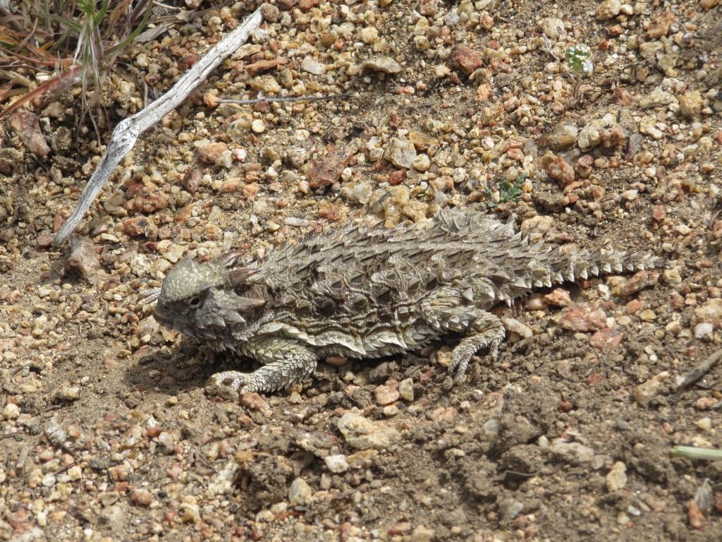 Desert Horned Lizard Outside Mount Laguna