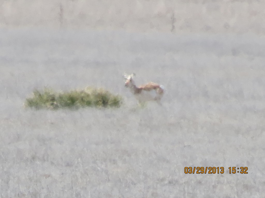 Distant Antelope Outside Wallace, Kansas