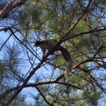 Fox Squirrel in the Osceola National Forest