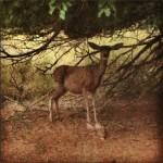 Mule Deer in Fruita, Utah