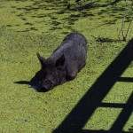 Giant Swamp Hog in the Miccosukee Village