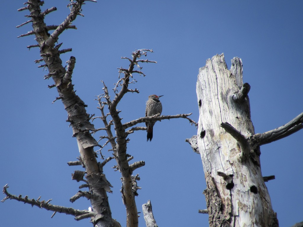 Gilded Flicker on Mount San Jacinto