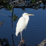 Great White Heron in Key West
