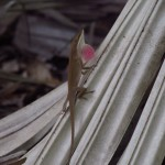 Green Anole Showing its Dewlap Along the Kissimmee River