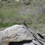Ground Squirrel in the South Sierra Wilderness