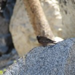 House Sparrow in Sequoia National Park