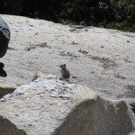 Chipmunk in Kings Canyon National Park