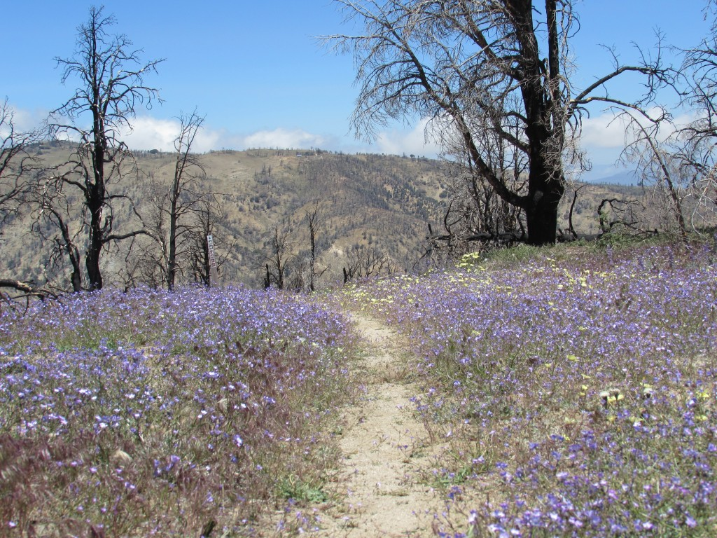 Flowers Bloom After Recent Wildfire in the Mojave Desert