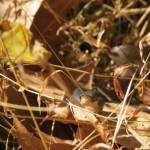 Litle Garter Snake in the Leaves