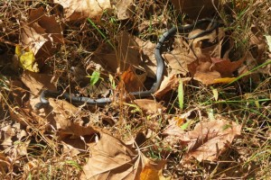 Little Garter Snake in the Leaves