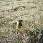 Marmot in the Sequoia National Forest
