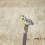 Meadowlark Calls on a Fence Post in Eastern Colorado