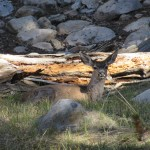 Mule Deer Chilling in the Shade in Sequoia National Park