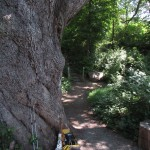 Gigantic White Oak in Pawling, New York