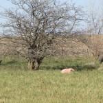 Pig Farm Outside Londonderry, Ohio