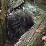 Porcupine in Pennsylvania