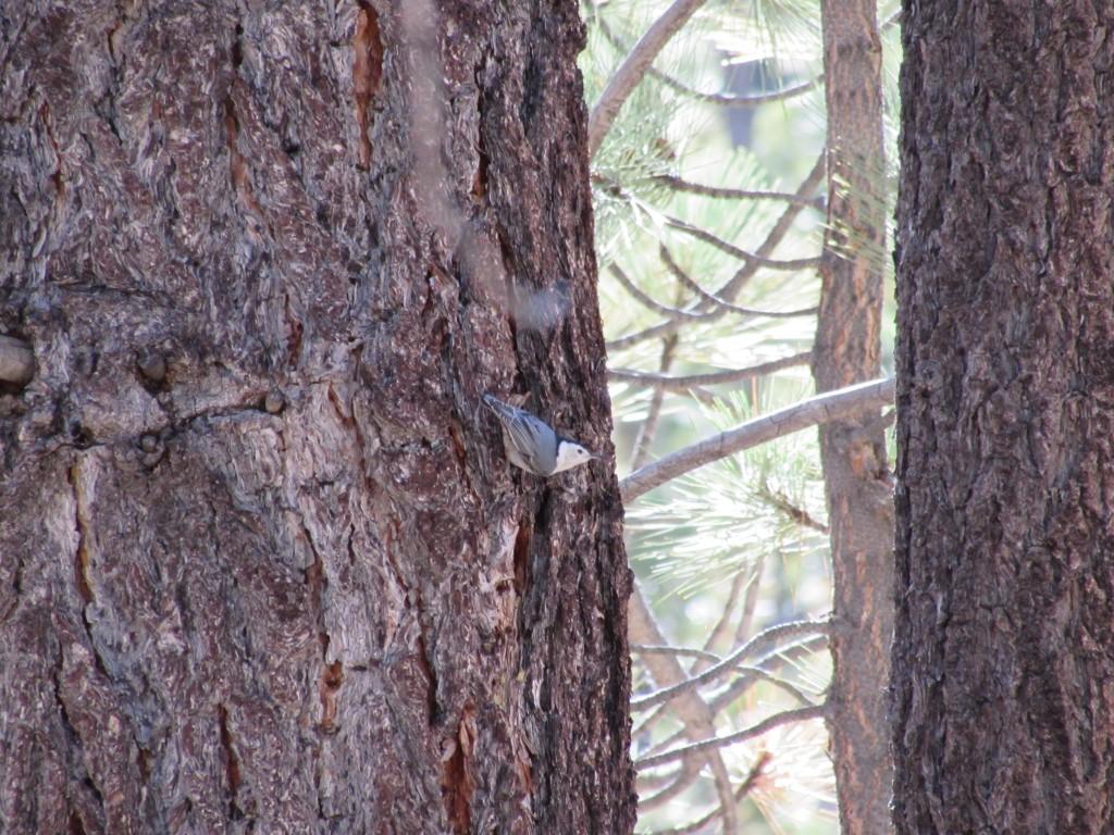 Pygmy Nuthatch in the Southern Sierra Nevada