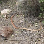 Red Racer Snake at Vasquez Rocks in Agua Dulce