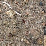 Red Velvet Ant in Campo