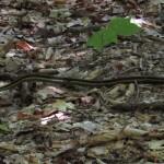 Ribbon Snake Outside Pawling, New York