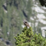 Sagebrush Sparrow in Kings Canyon National Park
