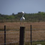 Snowy Egret in the Wind in the Seminole Reservation