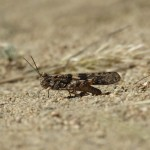 Grasshopper in the Southern Sierra Nevada