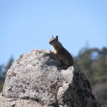 Ground Squirrel in the Southern Sierra Nevada