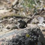 Lizard in the Southern Sierra Nevada