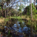 Standing Water in Orlando Wetlands Park