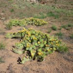 Cacti Along the Upper Colorado River Scenic Byway on the way Into Moab