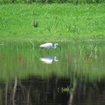 Heron Fishing in Wallkill National Wildlife Preserve, New Jersey