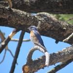 Western Bluebird in the South Sierra Wilderness